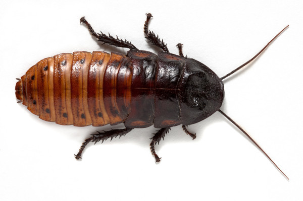 Live Madagascar Hissing Cockroach (Male Small/Medium)